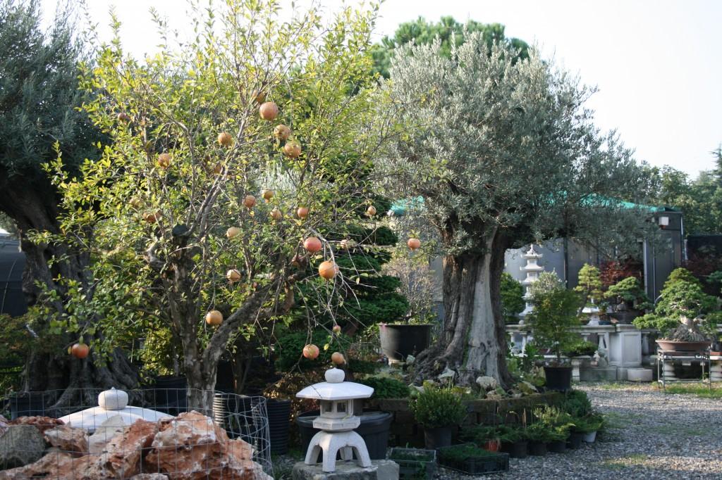 Piante mediterranee bonsai piccin for Bonsai limone vendita