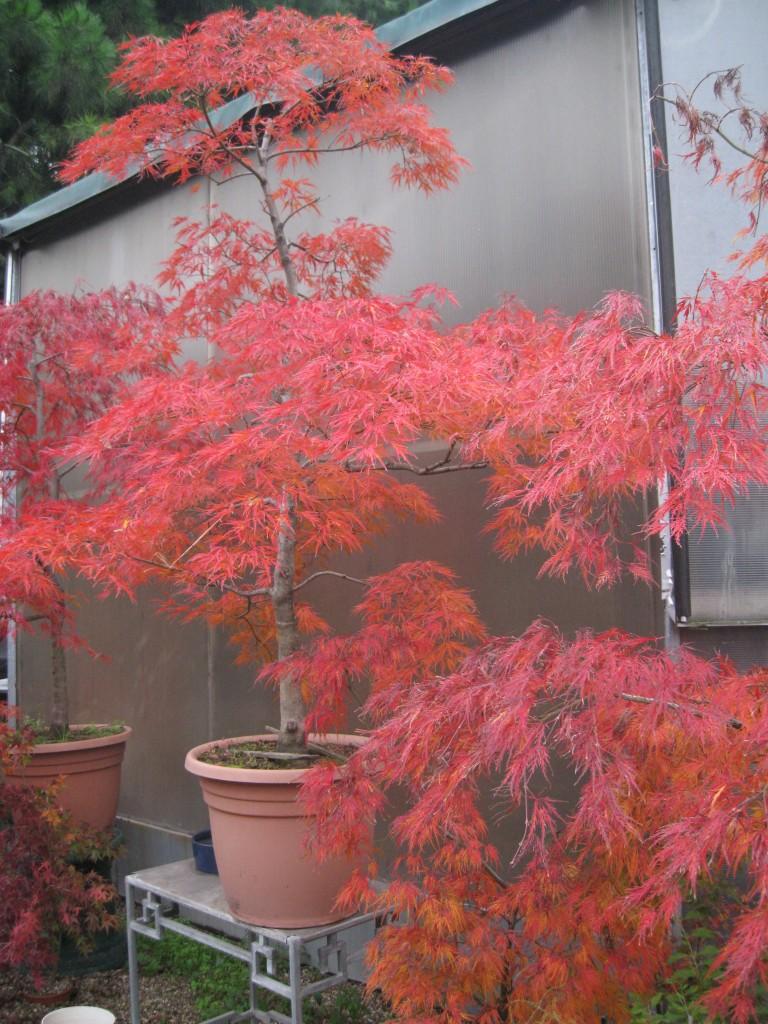 Pin giapponese acero acer palmatum crescente est grinstead for Acero bonsai vendita