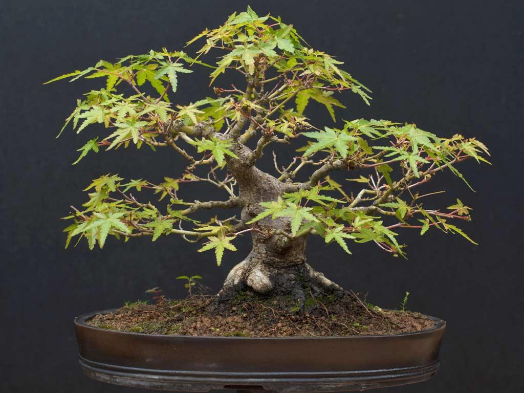 Acer palmatum for Acero bonsai vendita