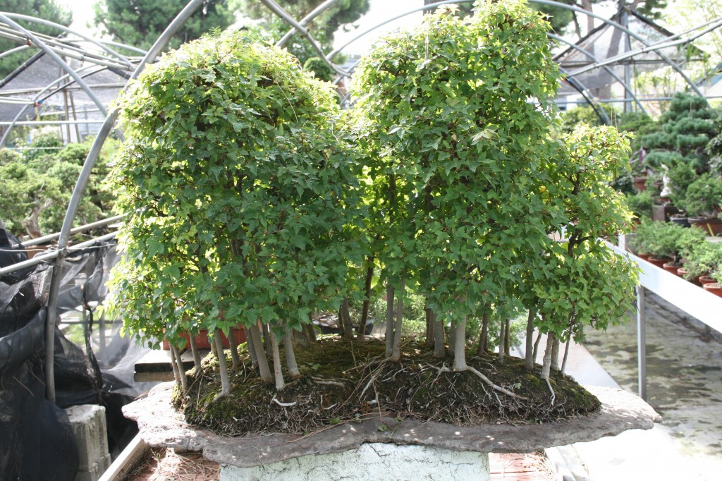 Acer buergerianum for Acero bonsai vendita