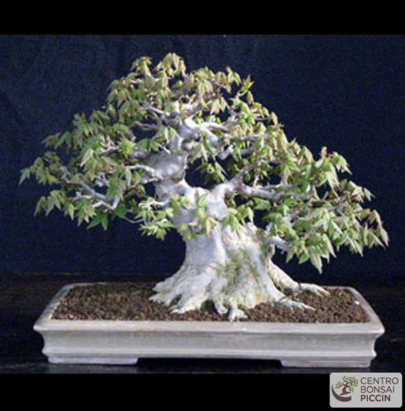 Acero bonsai shoin