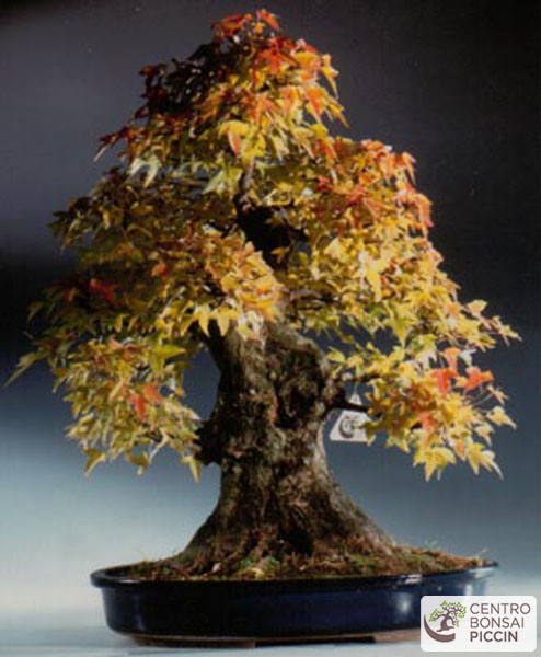 Acero bonsai