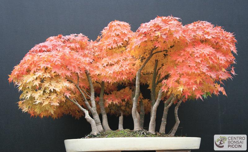 bonsai acero boschetto autunno