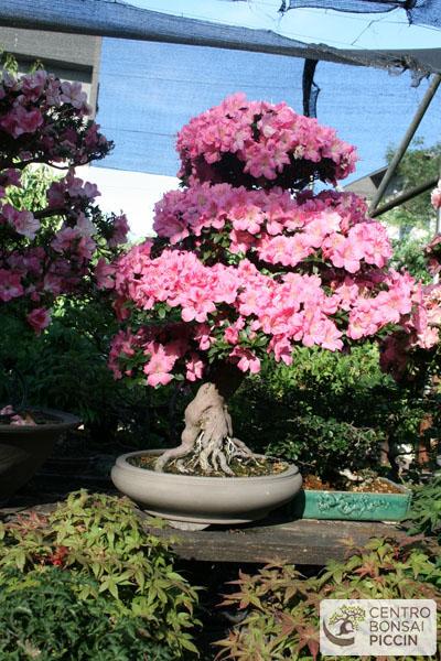 bonsai azalea milano