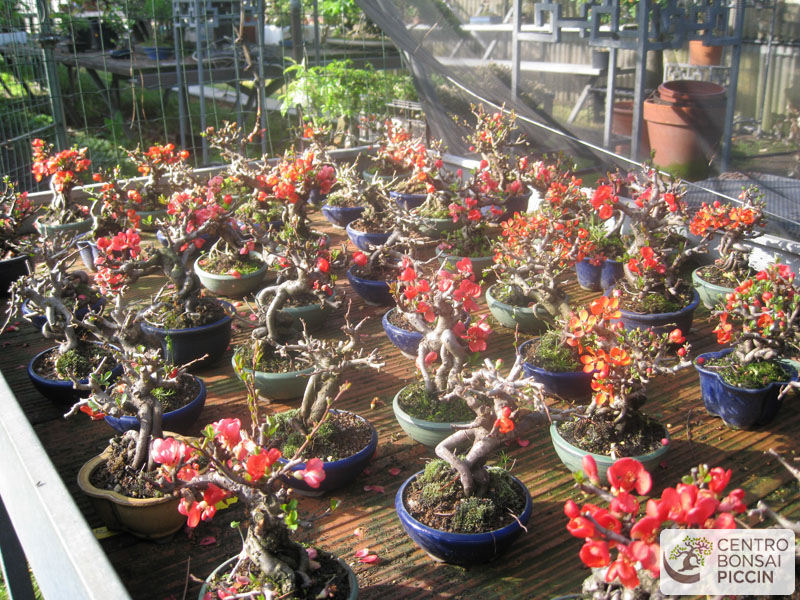 vendita bonsai - centro bonsai piccin