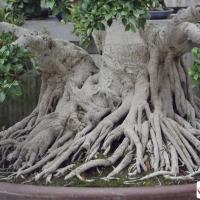 bonsai ficus radici