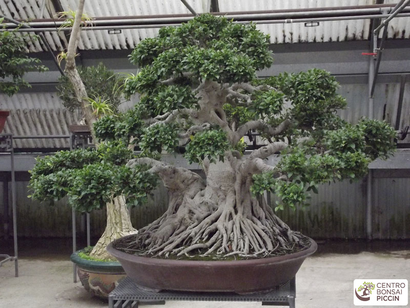 bonsai ficus secolare