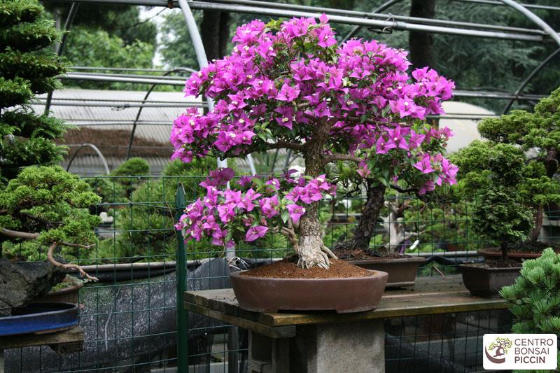 bonsai fioritura