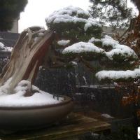 bonsai ghiaccio