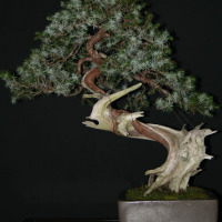 bonsai ginepro rigida