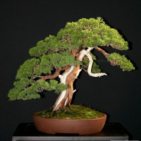 bonsai ginepro vendita copy