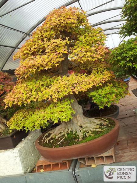 bonsai kokufù