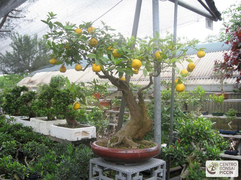 I nostri bonsai bonsai tree bonsaipiccin for Bonsai limone vendita