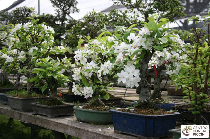 bonsai melo fiori