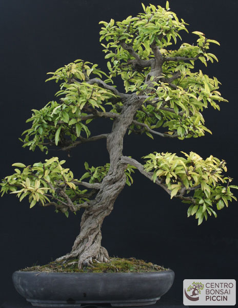 bonsai melograno vendita