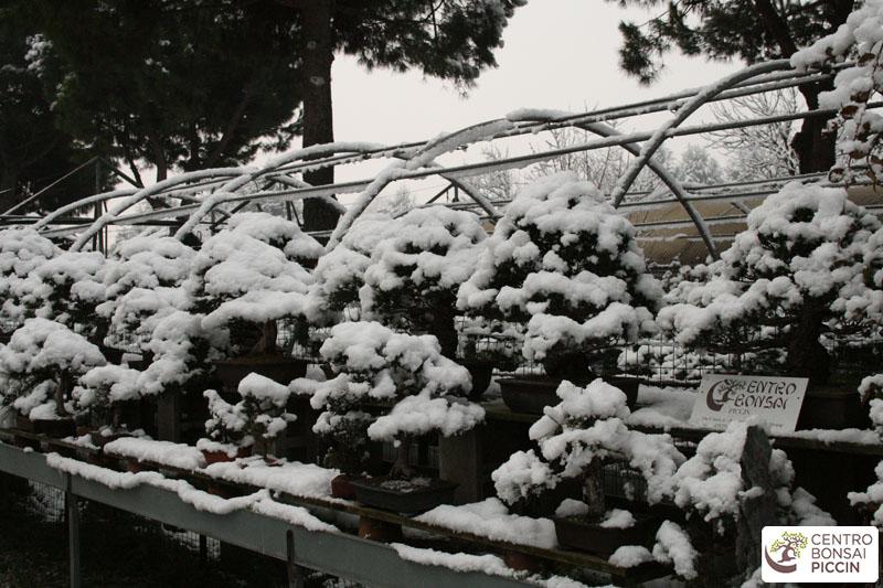 bonsai neve