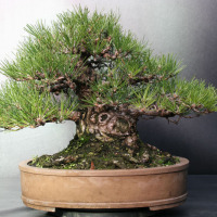 bonsai pinus nigra