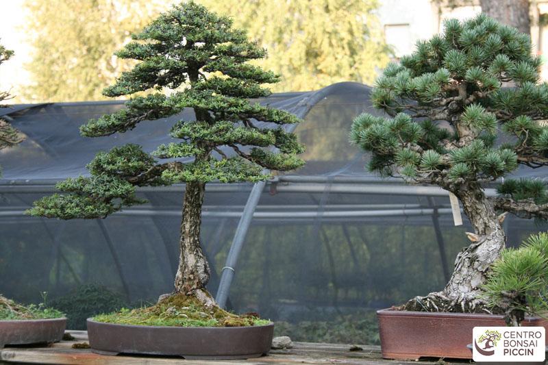 Bonsai piccin - vendita bonsai