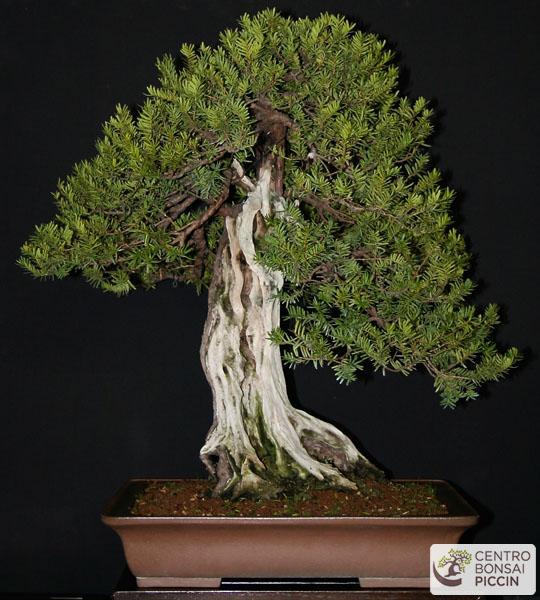 bonsai tasso milano