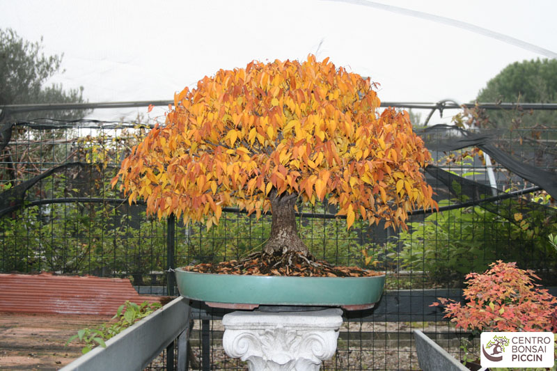 bonsai zelkova autunno