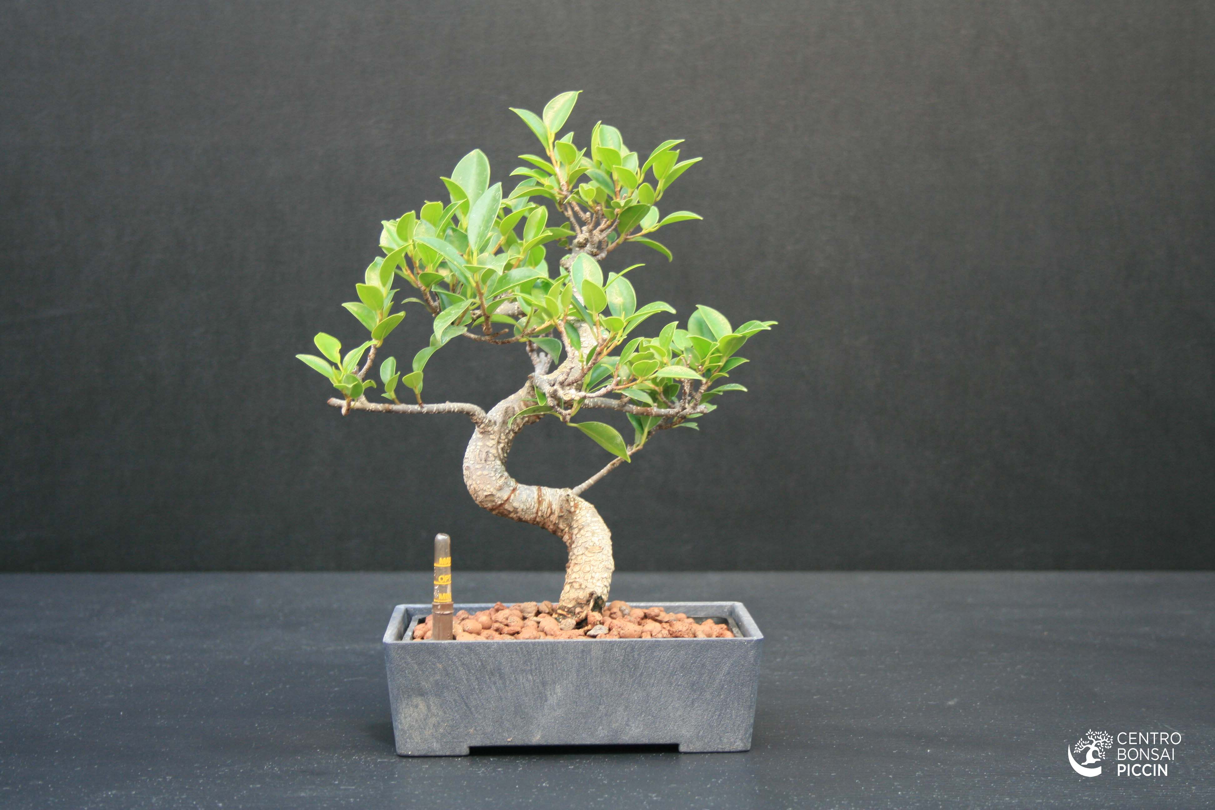 Bonsai ficus prezzi e cura bonsai ficus bonsaipiccin for Bonsai prezzi