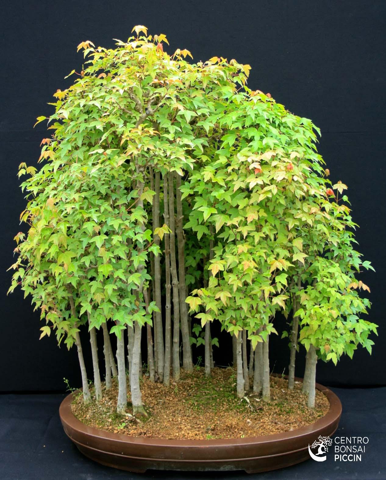 Bonsai acero buergerianum boschetto bonsai piccin for Acero bonsai vendita