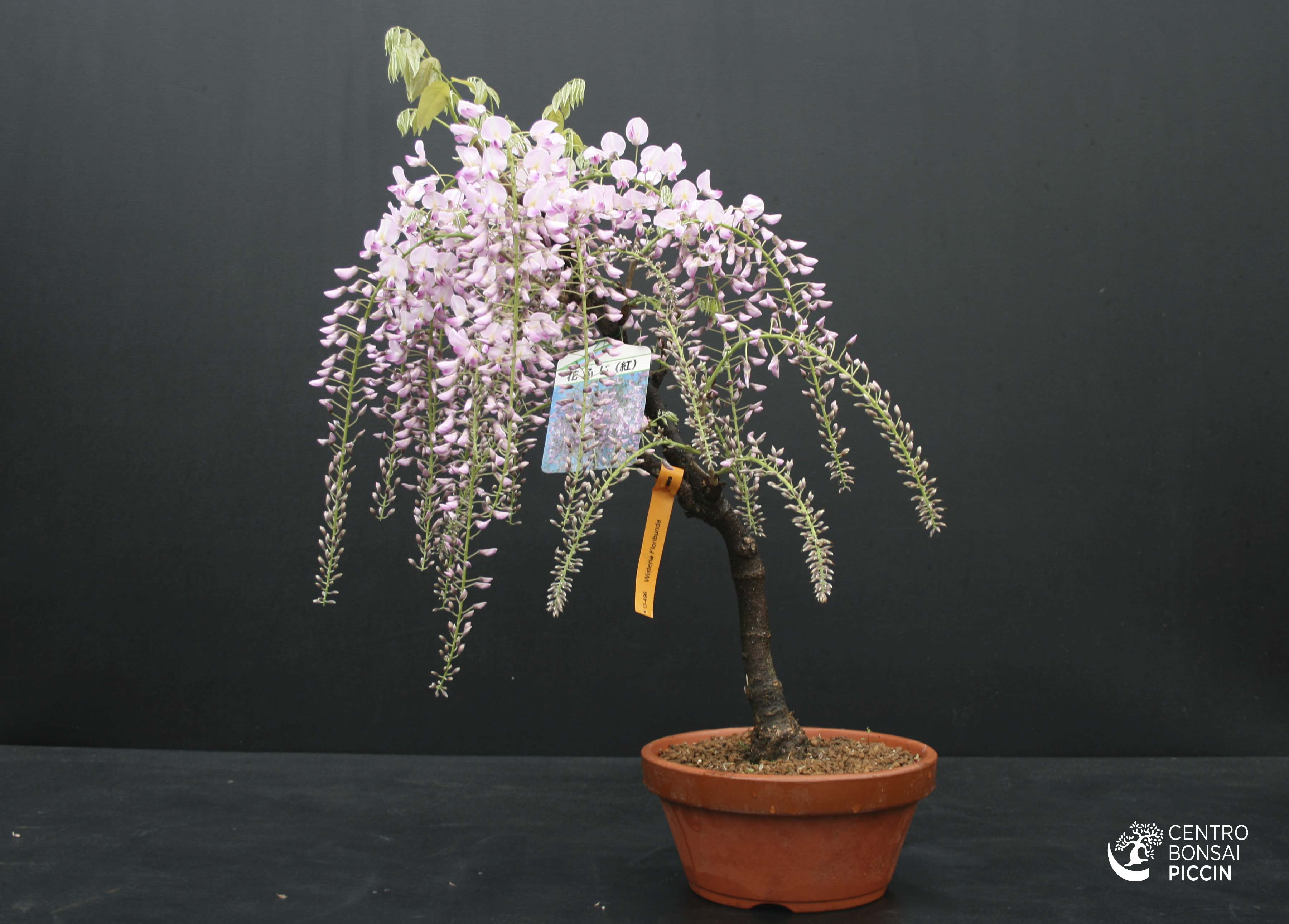 Bonsai glicine wisteria floribunda bonsai piccin for Glicine bonsai prezzo